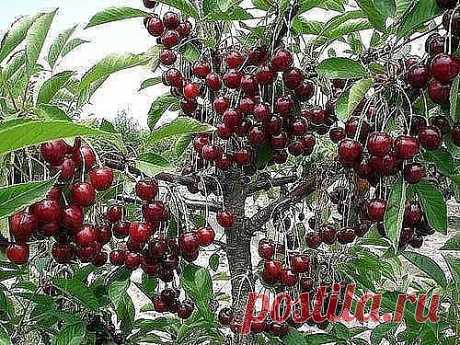 Than to feed up cherry?\u000d\u000aTop dressing in the spring - ashes, on a one-liter jar, on the damp soil, on krone perimeter, 1 tablespoon of urea and 2 tablespoons of non-chlorine potassium (at top dressing by chloride potassium will dump leaves) on 10 l of water (not less than 3 - 4 buckets on a plant). It is possible to replace with potash saltpeter (2 tablespoons). During the intensive growth of ovaries it is necessary to spray on leaves solution of minerals. Besides, one more one-liter jar of ashes for building of braids is necessary...