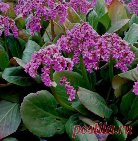 Cultivation of a bergenia tolstolistny at the dacha (55 photos): from seeds, landing, watering, top dressing, leaving