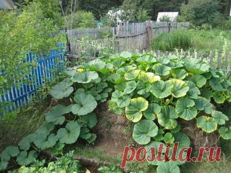 Кабачки. Выращивание на компостных кучах.