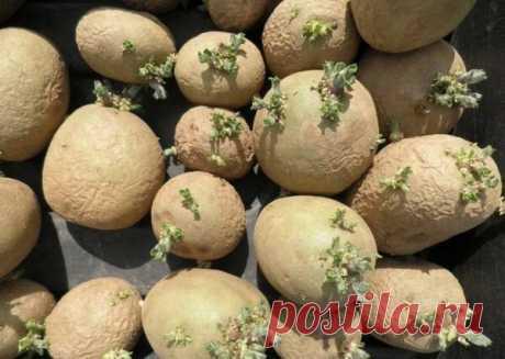 Ошибки при посадке картофеля   Блоги о даче и огороде, рецептах, красоте и правильном питании, рыбалке, ремонте и интерьере