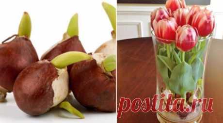 Выращиваю тюльпаны дома круглый год. Используя этот маленький секрет — Мир Растений