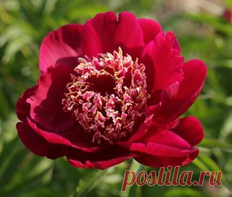 Как ухаживать за пионами во время цветения и после него