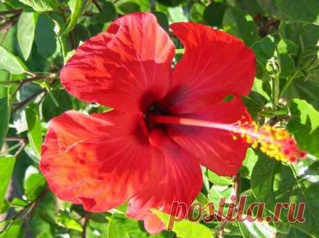 Целительный чай каркаде. О его пользе для здоровья | ПолонСил.ру - социальная сеть здоровья