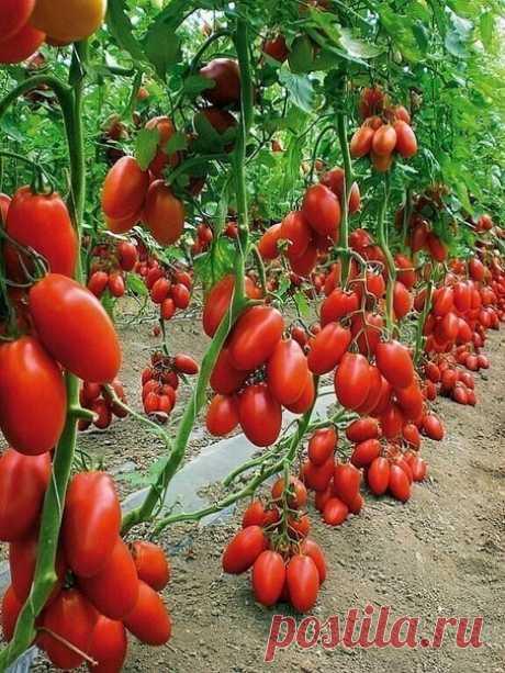 Бражка для урожая помидоров   Этот полузабытый дедовский рецепт я выписала из старой газетной подшивки, но опробовать все не было времени. И вот сейчас, когда все ратуют за экологически чистую продукцию, природное земледелие, а биопрепараты многим не по карману — решилась.   Понадобится:  Вода — 2,7 л  Дрожжи — 100 г  Сахар — 0,5 стакана   Приготовление:  В трехлитровую банку заливаю 2,6-2,7 л воды без хлора (отстоянной).  Дрожжи развожу в теплоой воде.  Добавляю в банку р...