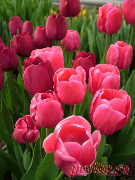 Тюльпаны. Фото Татьяны Барковой