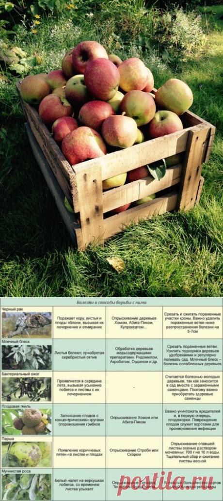 Чем болеют яблони и каких минеральных веществ не хватает в почве!? Определяем эти проблемы по урожаю яблок осенью | Любимая Дача | Яндекс Дзен