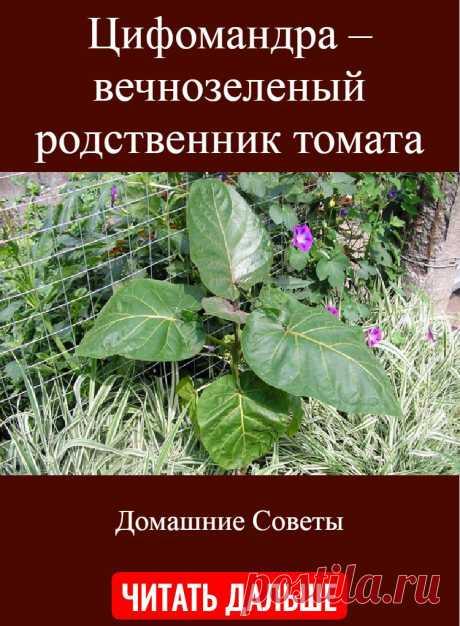 Цифомандра – вечнозеленый родственник томата