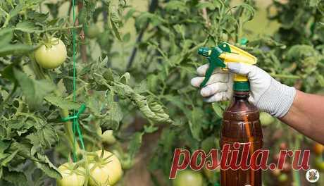 Эффективная подкормка аспирином спасает помидоры от фитофторы и увеличивает урожай в несколько раз | Секреты бывалого дачника | Яндекс Дзен