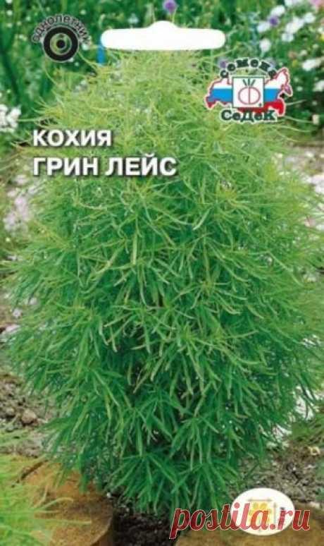 Цветок кохия - особенности выращиания на садовом участке