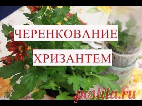 Черенкование хризантем. Этот способ отлично работает! - YouTube