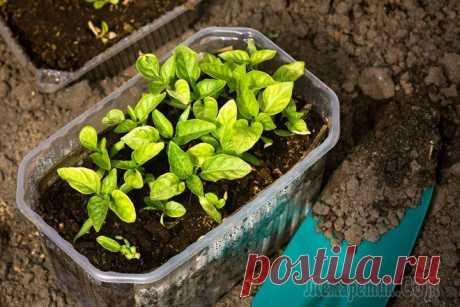 Рассада перца в домашних условиях – как правильно посеять семена Для получения хорошей рассады перца и отличного урожая, нужно обеспечить растения несколькими компонентами: плодородным грунтом, светом, водой и теплом. Ну и еще – заботой. А вот в каких пропорциях да...