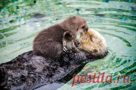 Фото дня. Выдра со своим детенышем в одном из калифорнийских зоопарков.