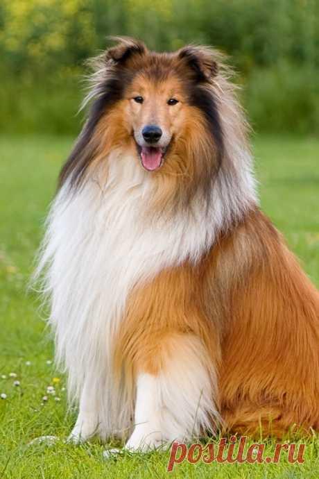 «Некоторые полагают, что «имя» породе досталось от черноголовой шотландской овцы (colley), стада которых она пасла. Изначально ее называли «colley dog». Другие – от английского «colley», воротник, указывая на великолепную белую шерсть на шее этих собак.» — карточка пользователя Любовь З. в Яндекс.Коллекциях