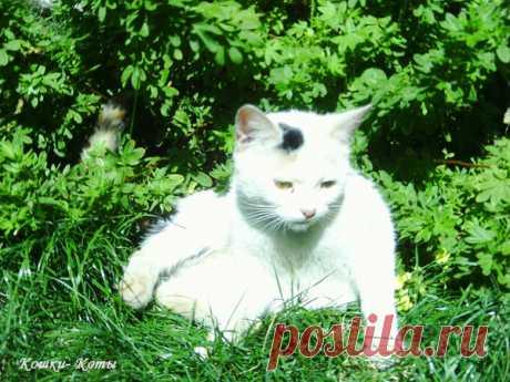 Как белая кошка бабочку ловила | Кошки & Коты | Яндекс Дзен  Автор текста: Нина Стрелкова. Автор фотографий: Николай Руцкой. Летом все кошки любят полежать на зеленой травке, половить там кого-нибудь. Бабочек, например. Конечно, бабочку поймать непросто. Но это вам непросто. А некоторые кошки делают это запросто. Потому что они хорошие охотники, умеют выследить и изловить. А внешне они могут быть белыми и пушистыми. Как вот эта кошечка...