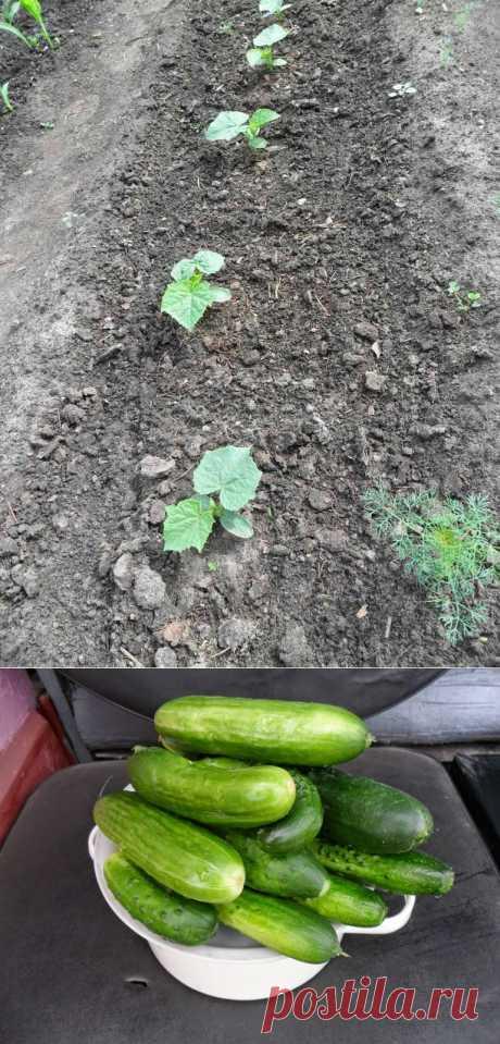 Вкусный Огород: Огуречные секреты. Опыт огородников.
