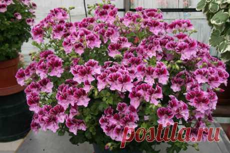 Волшебная подкормка для непрерывного и шикарного цветения герани