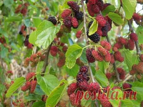 Шелковица (тутовое дерево): сорта, выращивание, уход