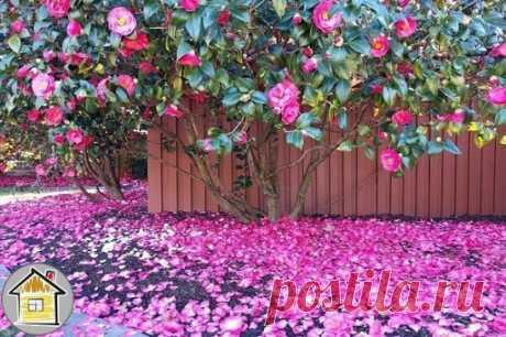 Цветущая камелия - красота