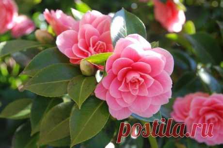 Камелия (50 фото) - виды, уход и посадка в открытом грунте Камелия зацветает эффектными крупными цветками диаметром до 12 см. Декоративные сорта напоминают чайные розы, особенно – селекционные махровые виды. Больше фото камелии – смотри в нашей галерее!