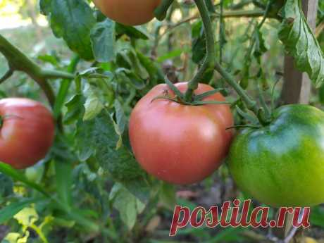 Какие сорта томатов самые лучшие, самые устойчивые к болезням и самые урожайные | Летний досуг | Яндекс Дзен