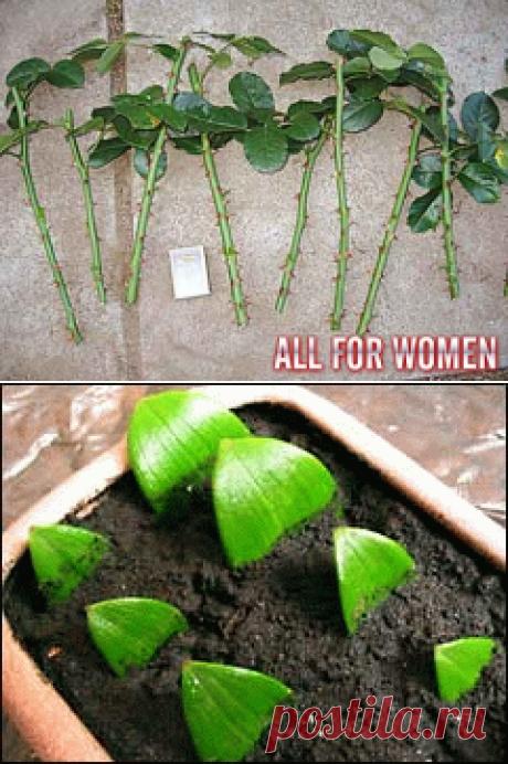 Размножаем черенкование красивые цветы — 6 соток