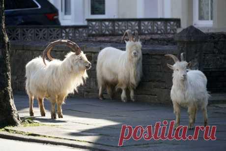 Англия, козлы и коронавирус