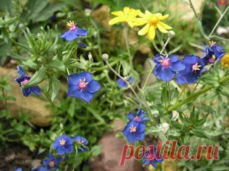 Лекарственное растение очный цвет полевой