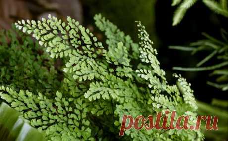 Цветок венерин волос пересадка уход. Как пересаживать растение