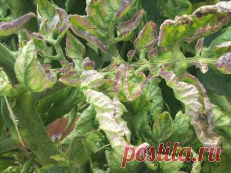 Фитоспорин для томатов: инструкция по применению, отзывы