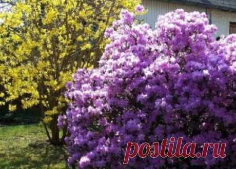 Кустарники весеннего цветения для дачи — 6 соток
