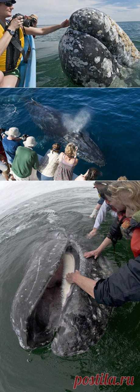 Самые дружелюбные киты.