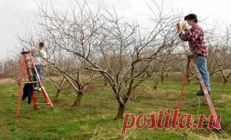Как обрезать плодовые деревья – все о видах крон и их формировании (в cхемах) | В саду (Огород.ru)