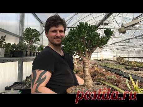 Готовим грунт для Крассулы оваты Толстянки Денежного дерева своими руками (Crassula ovata) - YouTube