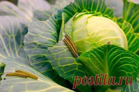17 средств для обработки капусты от гусениц Листовертки, плодожорки, златогузки и другие насекомые-вредители на стадии гусеницы опасны для огородных культур. Капусту в основном поражают личинки капустницы, которую еще называют капустной белянко...