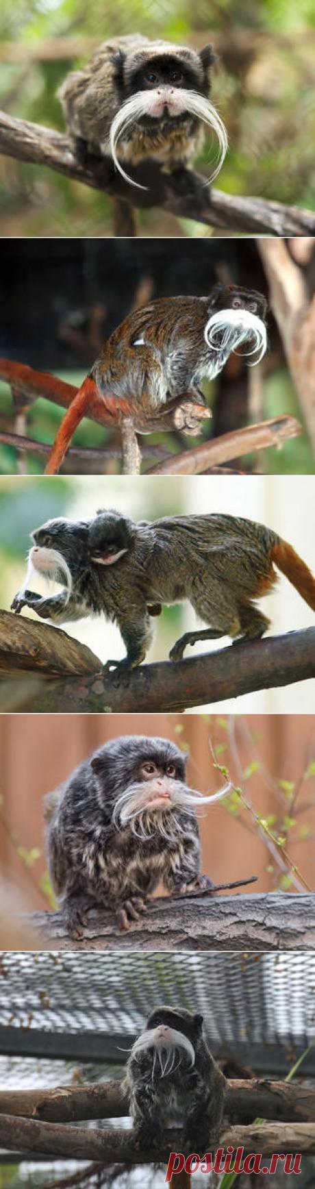 Смотреть изображения императорских тамаринов | Зооляндия