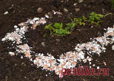 Яичная скорлупа как удобрение на огороде. Все способы полезного применения — Садоводка