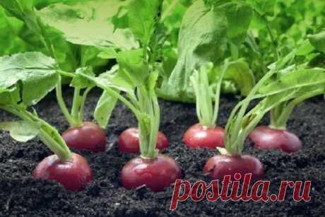Маленькие хитрости выращивания редиса весной. Это поможет увеличить урожай в 100%!