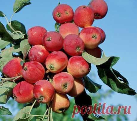 «Китайка» — распространённое садоводческое название, как отдельного вида — яблони сливолистной (Malus prunifolia), так и сортов мелкоплодных яблонь различного происхождения.
