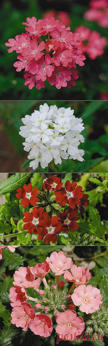 Вербена и петуния — разноцветные красавицы.Конец зимы — начало весны — самое лучшее время, чтобы посеять растения, которые будут вас радовать все лето. Как и в любом деле, в посеве есть свои хитрости. Некоторые из них мы вам раскроем. Немного усилий, и вербена и петуния украсят ваш сад или дом.Выращивают вербену с помощью рассады. Сеять раньше марта или начала апреля не стоит.Чтобы вербена цвела обильно и долго, регулярно вырезайте отцветшие побеги в течение всего периода цветения.