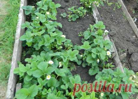 Цветет клубника, что нужно делать сейчас, чтобы увеличить урожай | Дачный дневник пенсионерки | Яндекс Дзен