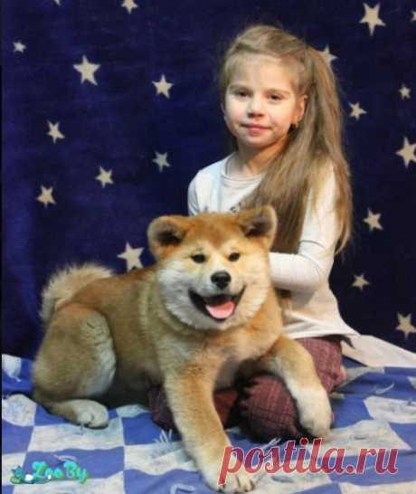 Продаю высокопородного щенка Японской Акита-ину купить в Минске на сайте объявлений