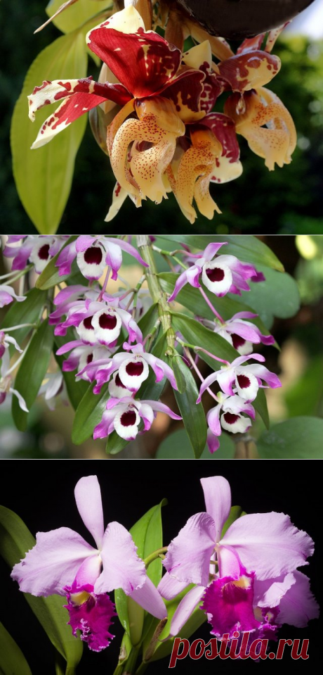 Аромат орхидей: популярные сорта цветов с запахом