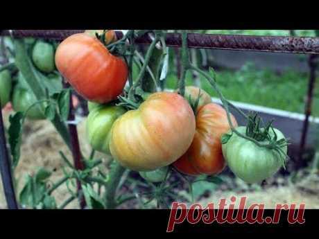Уникальный способ полива томатов  Итоги первого применения - YouTube