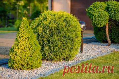 Что можно посадить рядом с туей – 30 фото удачных сочетаний растений | Цветники и клумбы (Огород.ru)