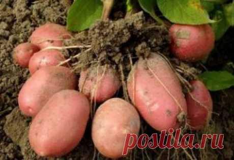 Лучшие сорта картофеля для Сибири: фото + описание, отзывы