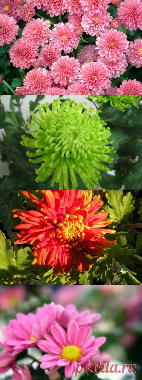 Хризантемы: уход, полив, размножение — Бабушкины секреты
