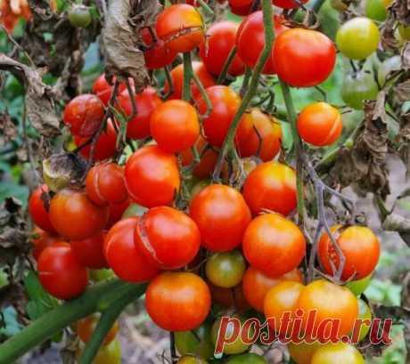 Народные методы борьбы с фитофторозом помидоров | В темпі життя