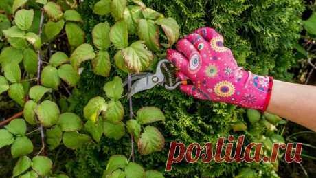 Правила обрезки малины для начинающих. Ремонтантной. Весной, летом и осенью. Фото — Ботаничка.ru