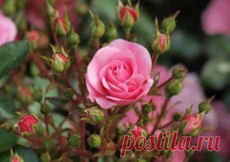 Посадка роз осенью: сроки, правила высаживания и пошаговая инструкция с фото