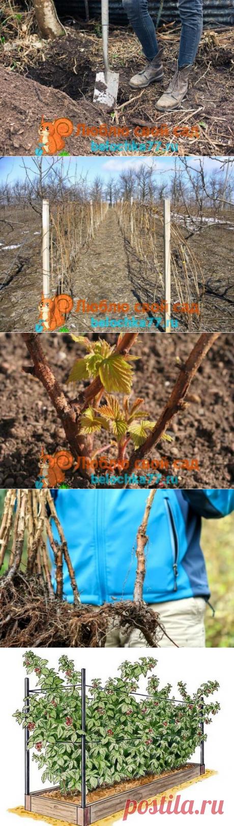 Пересадка малины осенью: сроки и процесс — Бабушкины секреты